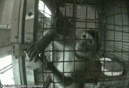 caged in Korea at a Monkey School