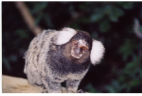 White Ear Marmoset