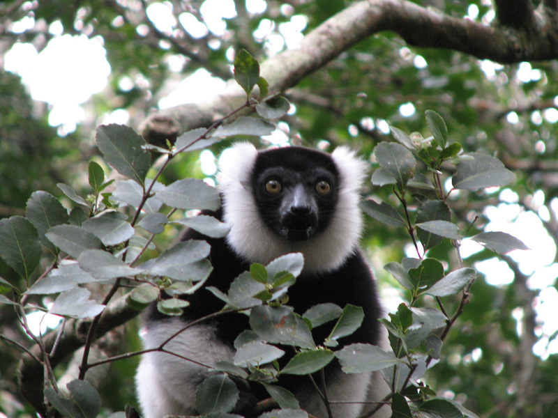 Ruffed lemur in the forest