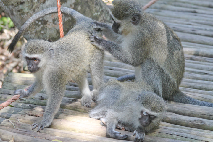 vervet monkeys on the bridge